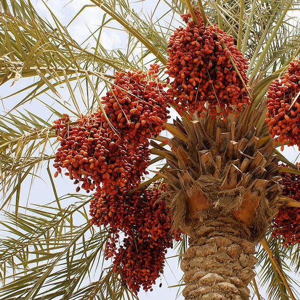 Palma da dattero (Phoenix Dactylifera L.)