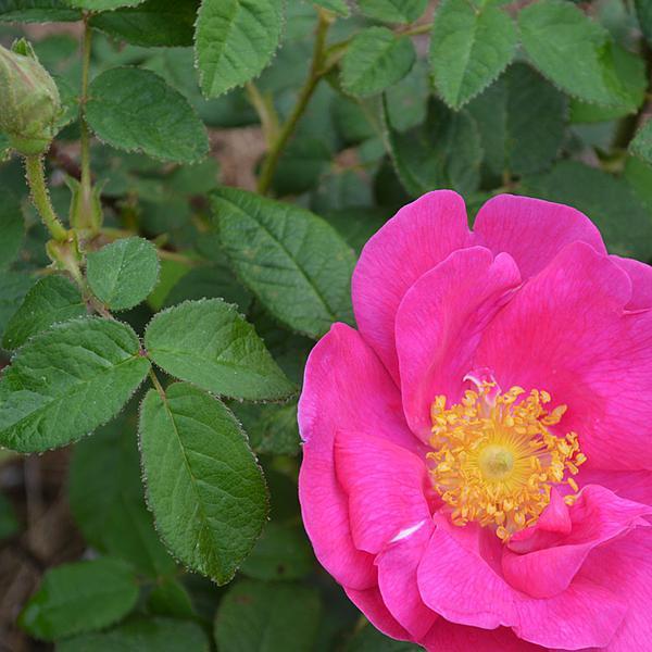 Rosa Gallica (Rosa Gallica L.)