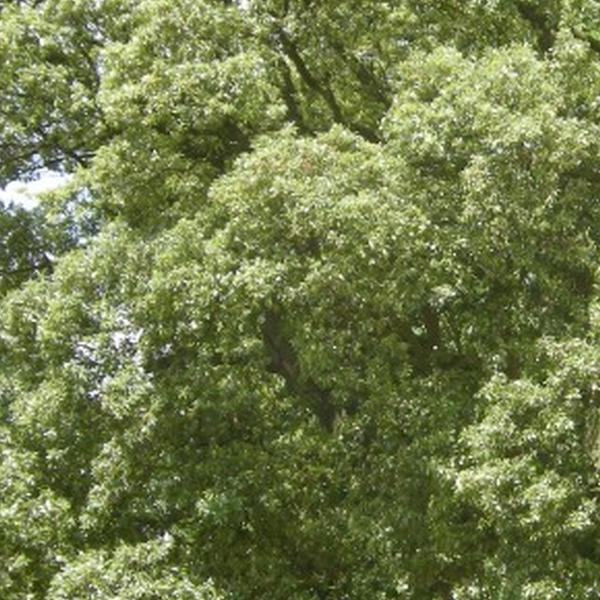 Quercia (Quercus)