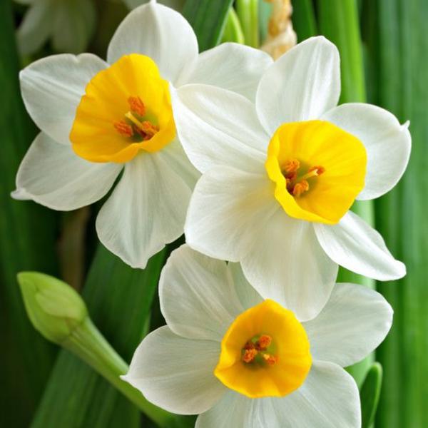 Narciso (Narcisus)