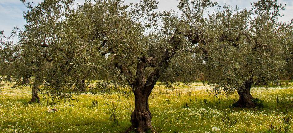Nocellara Olive DOP